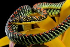Paradise Flying Snake with intricate scale patterns