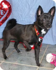 West Chicago, IL - Pomeranian/Chihuahua Mix. Meet Mamita a Puppy for Adoption.