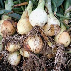 Onion, Garlic, Stuffed Mushrooms, Gardening, Vegetables, Food, Stuff Mushrooms, Onions, Lawn And Garden