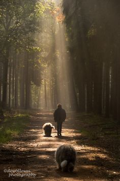 morning walk - Old English Sheepdogs | Cees Bol