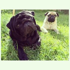 Pug Life - looks so much like my Bugsy & Penny. LH