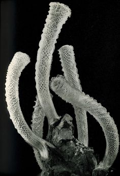 Unknown Photographer, Euplectella aspergillum (Venus's Flower Basket) - glass sponge!