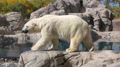 Polar Bear, ABQ Zoo