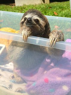 Even though her life hasn't been perfect, | Meet Lunita, The Cutest Baby Sloth On Planet Earth