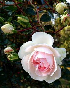 Queen of Sweden Rose Exotic Flowers, My Flower, Pretty Flowers, Queen Of Sweden Rose, Rose Reference, David Austin Roses, Rose Wallpaper, Plant Illustration, Flower Fairies