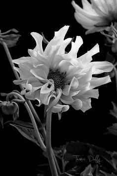 Dahlia in Black & White by Thomas Duffy, via 500px