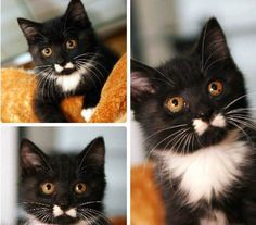 This cute tuxedo cat even has a little bow tie.