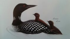 Common Loon and chicks