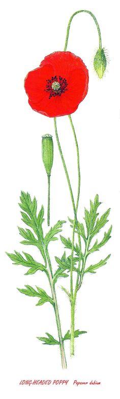Long-Headed Poppy Image Notes, Poppy, Dandelion, Flowers, Plants, Dandelions, Plant, Taraxacum Officinale, Royal Icing Flowers