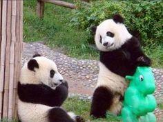 Playing Panda #panda