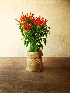 delightful chilli plant for table decoration