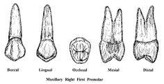 Premolars Dentistry, School Stuff, Tooth, Moose Art, Dental Anatomy, Teeth, Dental