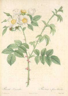 Rosa Leucantha; Rosier a fleurs blanches (syn) [Rosa dumetorumThuill. 'Obtusifolia' (?)] (1817-1824)