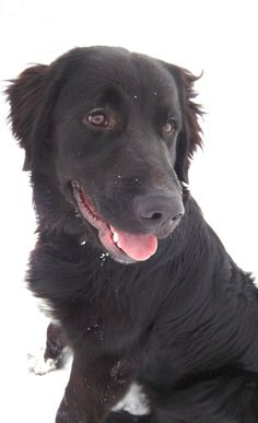 #CANADA ~ Dylan is a 1.5yo Black Labrador Retriever mix who arrived at the shelter 1-9-14 & is in need of a loving #adopter / #rescue at the Saskatoon SPCA  www.saskatoonspca.com  5028 Clarence Ave S  #Grasswood SK  S7T 1A7  Ph 306 374 7387