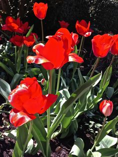 Sharing the evolution of my red tulips... — Alice R. Ballard