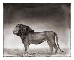 Portrait of Lion Standing in Wind, Masai Mara 2006, Nick Brandt