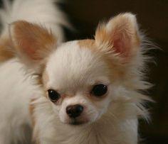 cute chihuahua face =D