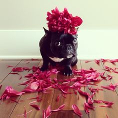 """Mommy, can I be the flower girl at your wedding?"" French Bulldog, @trotterpup 