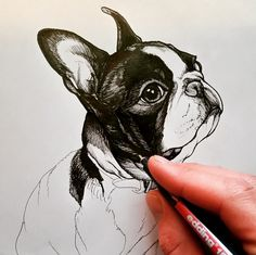 sketchbook page , boston terrier….