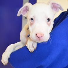 Boo's a deaf American Bulldog who's looking for a loving new home...