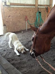"lolcuteanimals:  Let's play! Yellow lab and horse ""horsing around"" in the barn.  AWWW! Its like the lab is saying ""YOU'RE A BIG DOG HELLO BIG DOG LETS PLAY!"" and the horse is just like ""Hello tiny strange horse."""