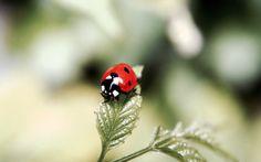 Kindaichi, holder of the Ladybug Kwami, Tikki, known as Tentoumushi, 天道虫