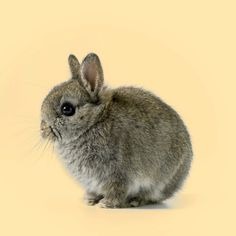 Chestnut Netherland dwarf baby bunny! I will hopefully having a litters of these in April 2017.
