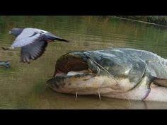 Hewan Terbesar di seluruh Dunia lele terbesar dunia hewan Monster ikan Lele Raksasa hewan raksasa https://www.youtube.com/watch?v=LB_1gqkgzEY