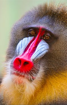 Beautiful Creatures, Animals Beautiful, Cute Animals, Wild Animals, Los Primates, Magnificent Beasts, Wild Creatures, Safari, Baboon