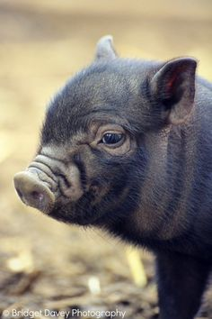 4 legs – Yes.  Tail – Yes.  Wet Nose – Yes.  Does it bark? – No. It makes Oink Oink.....Please meet the Micro Pigs.  With their wrinkled little snouts, tiny trotters and oversized ears, they are irresistibly cute.