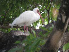 Bird Photos, Birding Sites, Bird Information: WHITE IBIS, TAMARACK EXOTIC DUCK POND, LAUDERHILL,...