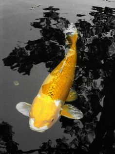 Their spectacular colors and patterns are part of the reason that koi fish are loved today and treasured by their owners. Colors of a koi fish should be bright. Koi Art, Fish Art, Koi Betta, Fish Pond Gardens, Common Carp, Koi Painting, Goldfish Pond, Japanese Koi, Japanese Dragon