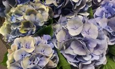 #Hydrangea #ElbtalBlueClassic; Available at www.barendsen.nl
