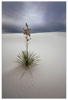 01 Soapstone Yucca and Gypsum - Photograph at BetterPhoto.com White Sands National Monument, Gypsum, Soapstone, Photograph, Tattoo, Flowers, Plants, Photography, Plaster