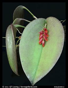 Pleurothallis hamosa. A species orchid (color)