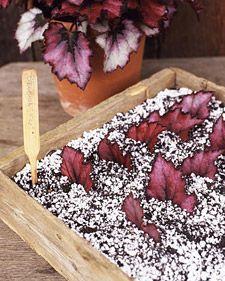 Propagating Begonias - Martha Stewart Home & Garden