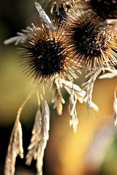 Burdock Seed Heads Mingled w/Graceful Stems of by PhotoClique