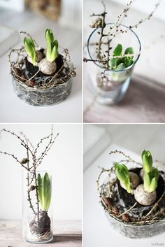 Next Post Previous Post Hyacinth LOVES Larch Hyacinths, simple glass containers and larch twigs. It contains ingredients for larch hyacinths. Branches bring stunning … Next Post Previous Post Planting Bulbs, Planting Flowers, Spring Decoration, Christmas Plants, Arte Floral, Deco Table, Glass Containers, Christmas Inspiration, Spring Flowers