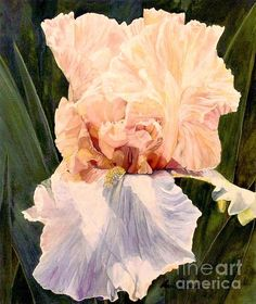 Botanical garden original watercolor painting, peach iris garden flower nature art hand painted by Laurie Rohner is a detailed watercolor painting titled Botanical Peach Iris. Botanical watercolor painting of a Garden Iris is detailed realism of a bi-colored botanical garden flower,  painted in my unique style of glazing.