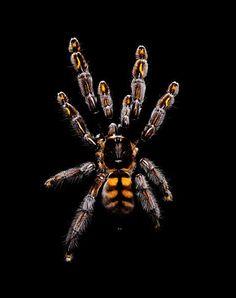 Psalmopoeus-irminia guido mocafico tarantula