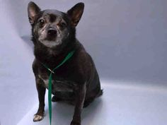 SUPER URGENT Brooklyn Center PRINCESS – A1045210 SPAYED FEMALE, BLACK / BROWN, CHIHUAHUA SH MIX, 14 yrs OWNER SUR – EVALUATE, NO HOLD Reason NO TIME Intake condition EXAM REQ Intake Date 07/24/2015