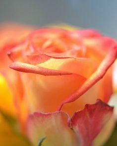 Orange rose   #flower  #contrast  #Photography  #Nature  #outdoor  #garden…