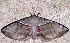 pics of moths   Chelepteryx species - possibly C.chalepteryx