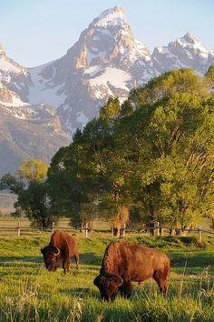 Bison and the Grand Teton, Grand Teton National Park, Wyoming - Aaron Spong