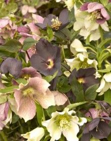 'Royal Heritage' Christmas Rose – Sheridan Nurseries