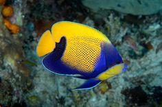 17 best rabbitfish images aquarium aquarius marine fish