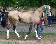 Yaguar Akhal-Teke Stallion