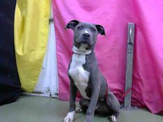 RESCUED! DEVORE,CA. EUTH LIST. 12/13/17. Frisco ID#A686068. 8 mo. old male Pit Bull Terrier. Rescue only. Behavior & also has green nasal discharge. Arrived 11/27/17.