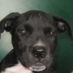 "Dog Adoption San Diego - Adopt A Dog   Cat Adoption San Diego - Adopt A Cat   Helen Woodward Animal Center ""Dopey"""