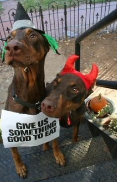 Give us something good to eat! Halloween Dobermans Oh, those ferocious dobermans (? Animals And Pets, Funny Animals, Cute Animals, Cute Puppies, Dogs And Puppies, Doggies, I Love Dogs, Puppy Love, Doberman Love